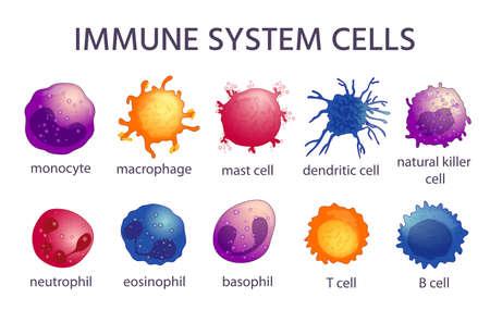 Illustration pour Immune system cell types. Cartoon macrophage, dendritic, monocyte, mast, b and t cells. Adaptive and innate immunity, lymphocyte vector set - image libre de droit