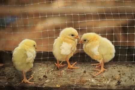 Photo pour hatched chicks on a chicken farm - image libre de droit