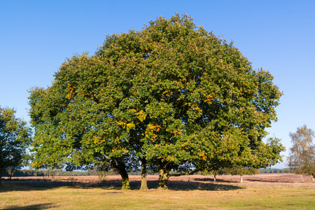 Foto per Common oak, Quercus robur, in autumn in the Netherlands - Immagine Royalty Free