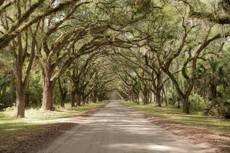 Road covered by southern oaks in Georgia plantation