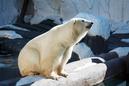Polar bear posing in the zoo enclosure