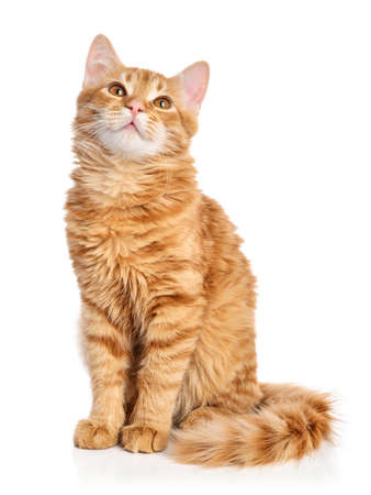 Photo for Cute red tabby kitten  isolated on white background, studio shot - Royalty Free Image