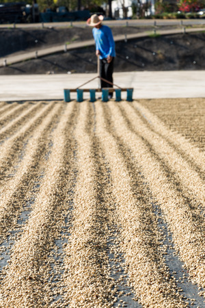 worker drying green coffee beans