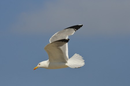 Yellow-legged Gull - Larus michahellis, Greece