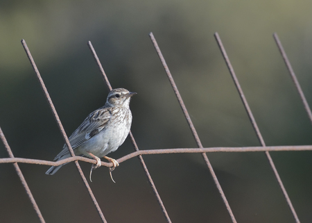 Woodlark or Wood Lark (Lullula arborea), Crete
