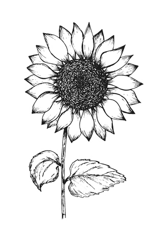Illustration pour Retro black outline ink pen sketch of sunflower. Hand drawn illustration of beautiful sun flower isolated on white background for botanical pattern design, greeting card decoration - image libre de droit