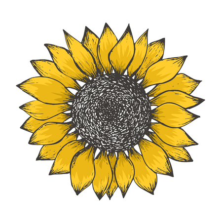 Illustration pour Bright sketch of colorful yellow sunflower blossom with black seeds. Hand drawn color illustration of sun flower isolated on white background for botanical pattern design, greeting card decoration - image libre de droit