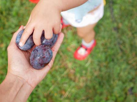 Photo pour Fresh organic plums in the hands. - image libre de droit