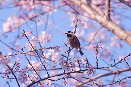 Varied and cherry blossoms