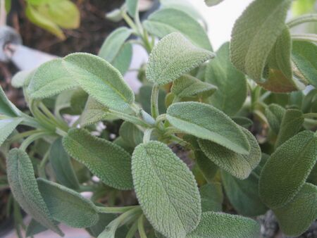 Fresh sage plant with big leaves