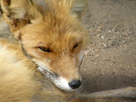 Sleeping fox calmly posing for a photograph.