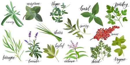 Illustration for Set of popular culinary herbs with hand written names. Rosemary, majoram, thyme, basil, parsley, chives, savory, sumac, tarragon lavender bay leaf verbena chervil oregano - Royalty Free Image