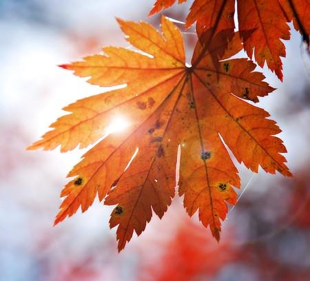 Autumnal design element - leaf of maple