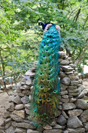 Peacock with beautiful multicolored tail sitting on stone