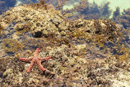 Photo pour Red starfish. Indian Ocean Coast, Diani Beach, Kenya, Mombasa, Africa - image libre de droit