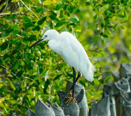 Male birds with fairly mangroves