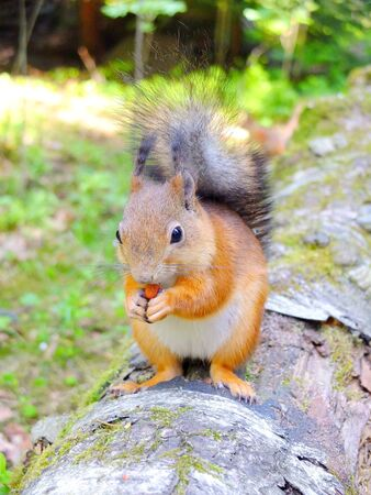 Cute squirrel eating a nut, summer fur, Finland