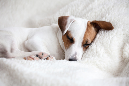 Photo for Dog sleeping on a soft white blanket - Royalty Free Image