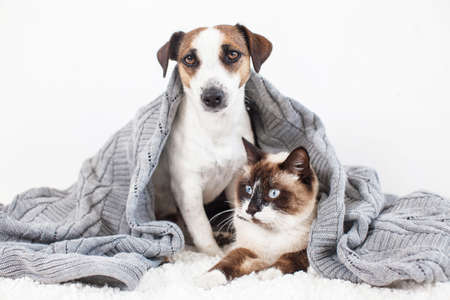 Photo pour Dog and cat together under knitted blanket. Pets at home - image libre de droit