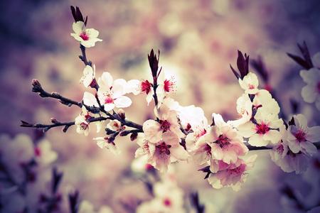 Photo pour beautiful japanese cherry flowers in march, closeup of branch - image libre de droit