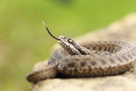 aggressive hungarian meadow viper tasting the air with its tongue ( Vipera ursinii rakosiensis from Transylvania, listed as endangered by IUCN )