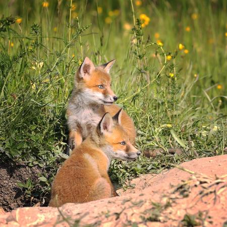 fox cubs near the burrow in spring ( Vulpes )