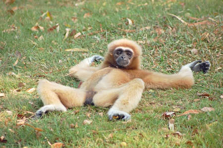 Photo pour A female gibbon relaxing on the grass - image libre de droit