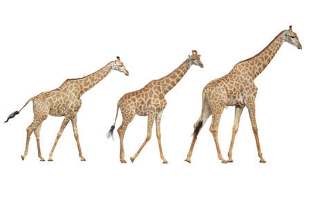 Photo pour Giraffe on a white background. - image libre de droit