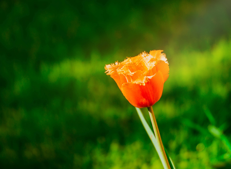 Photo pour Davenport tulips. Flower tulips background. Beautiful view of the red and yellow tulips under the sunlight landscape at the middle of the spring or summer. Spring flowers at green garden. - image libre de droit