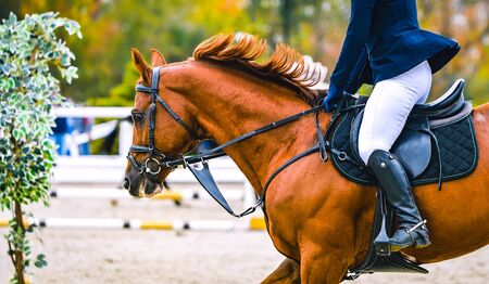 Photo pour Horse and rider in uniform performing jump at show jumping competition. Horse horizontal banner for website header design. Equestrian sport background. Selective focus. - image libre de droit