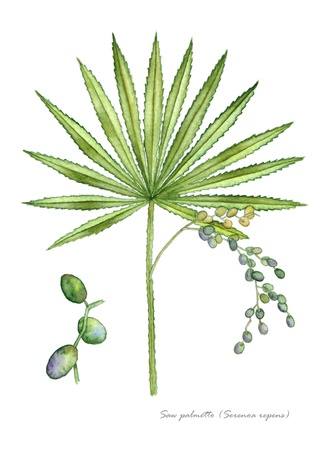 Saw Palmetto with detail of fruit