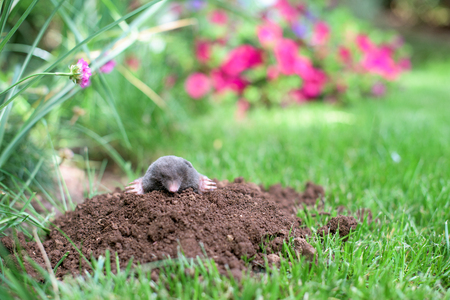Photo for Mole out of molehill in a garden - Royalty Free Image