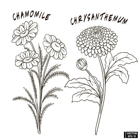 Illustration pour Vector image. A set of flowers, sketches, imitation of a pencil. Chrysanthemum and chamomile - image libre de droit
