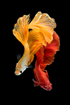 Foto de Close up art movement of Betta fish,Siamese fighting fish isolated on black background.Fine art design concept. - Imagen libre de derechos