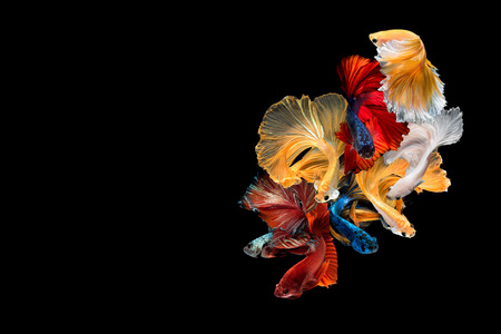 Foto per Close up art movement of Betta fish,Siamese fighting fish isolated on black background with copy space.Fine art design concept. - Immagine Royalty Free