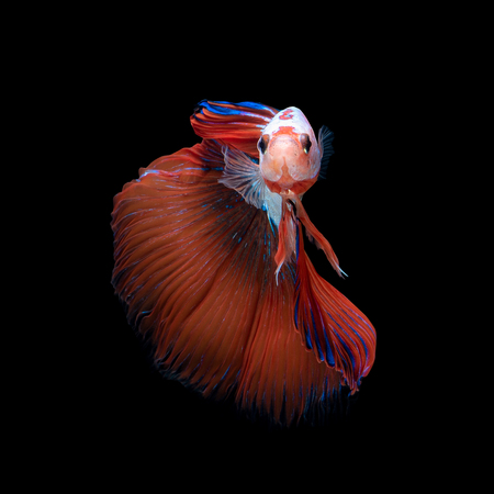 Foto de Close up art movement of Betta fish or Siamese fighting fish isolated on black background.Fine art design concept. - Imagen libre de derechos