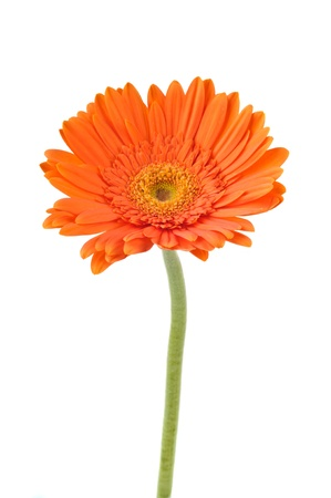 Orange daisy-gerbera isolated on white.