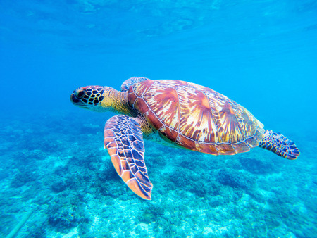 Foto de Green sea turtle closeup. Big green sea turtle closeup. Marine species in wild nature. Tropical sea turtle. Tortoise photo. Big turtle in blue water. Aquatic animal underwater. Tortoise in sanctuary - Imagen libre de derechos
