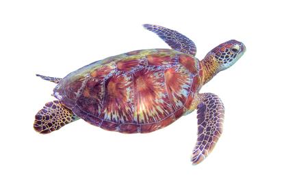 Foto de Sea turtle on white background. Marine tortoise isolated. Green turtle photo clipart. Marine animal of tropical seashore. Coral reef ecosystem inhabitant. Green sea turtle full body isolated on white - Imagen libre de derechos