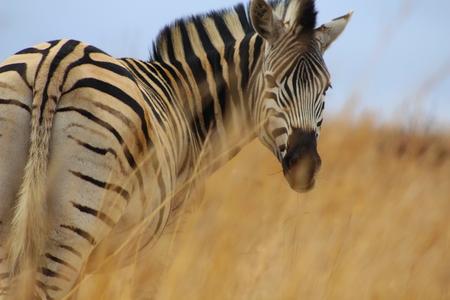 zebra face close up