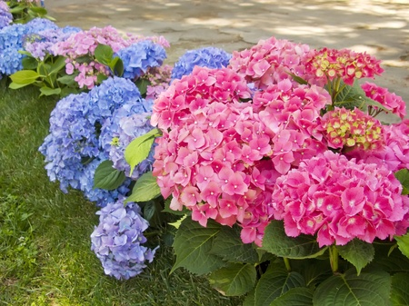 Foto de Hydrangea pink and blue flowers at the garden - Imagen libre de derechos