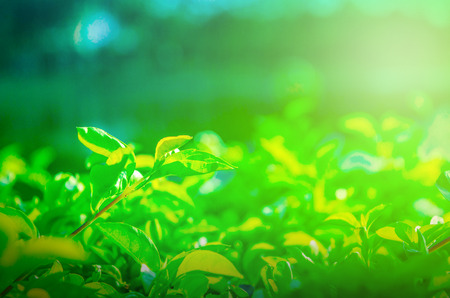 Close-up view of outstanding green foliage Natural view of green foliage is soft, suitable for wallpapers or backdrop You can do other tasks.