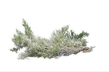 juniper branch under snow isolated on white
