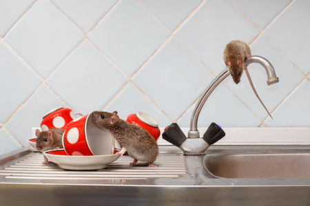 Foto de Three young rats (Rattus norvegicus) and red cups on sink and on top of the water faucet at kitchen. Fight with rodents in the apartment. Extermination. - Imagen libre de derechos