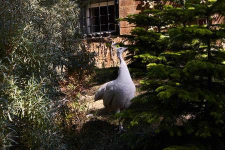 Photo pour Pride white peacock walking in garden. - image libre de droit