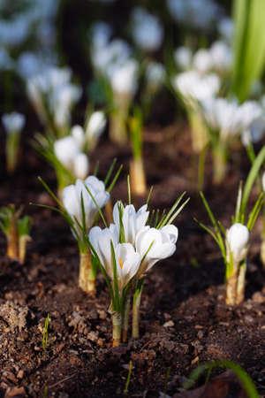 Beautiful spring white crocus in garden