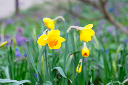 Lovely field with bright yellow and  white daffodils (Narcissus). Shallow dof and natural light.