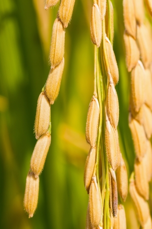 Close up of ripe rice in the paddy, Thailand