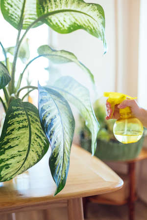 Photo pour Taking care after a large leafy tropical plant by watering it with plant mister - image libre de droit