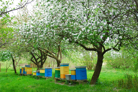 colorful beehives in spring orchard with apple trees
